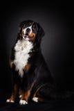 bernese hundberg Fotografering för Bildbyråer