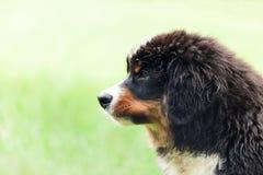 bernese hundberg Royaltyfri Foto