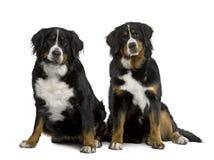 bernese hundberg som sitter två Fotografering för Bildbyråer