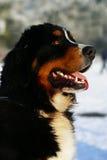 bernese hundschweizare Fotografering för Bildbyråer