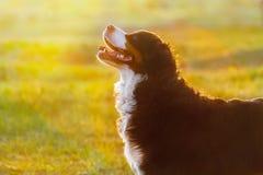 Bernese hundstående på soluppgång Arkivbild
