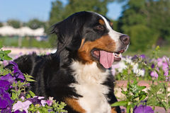 Bernese Mountain Stock Image