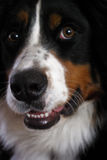 Bernese mountain dog 1. Close-up portrait of a Bernese mountain dog Stock Photo
