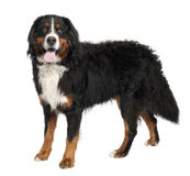 Bernese mountain dog (10 months old) Stock Photo