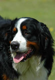 Bernese Mountain Dog. Head portrait watching other dogs Stock Photography