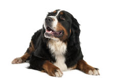 Bernese mountain dog (13 months old) Stock Photos