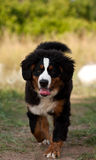 Bernese mountain dog. A photo of a Bernese mountain dog on a easy jog and tongue out of his/her mouth Stock Photography