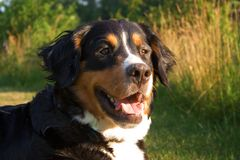 A Bernese Mountain dog. In nature Stock Photography