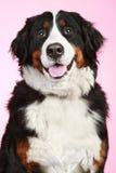 Bernese mountain dog Royalty Free Stock Photography