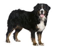 Bernese mountain dog, 2 and a half years old. Standing in front of white background Stock Images