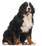 Bernese Mountain Dog, 20 months old, sitting Royalty Free Stock Photography