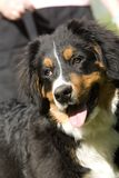 Bernese Mountain Dog. Head shot of a Bernese Mountain dog with owner in the background. Dog is on a lead royalty free stock images