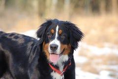 Bernese Mountain Dog Royalty Free Stock Images