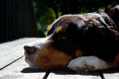 A bernese mountain dog Royalty Free Stock Images