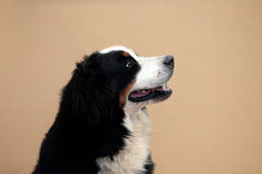 Bernese mountain dog. A happy Bernese mountain dog obediently sitting and looking up Royalty Free Stock Photo