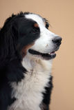 Bernese mountain dog. A happy Bernese mountain dog obediently sitting and looking up Royalty Free Stock Photos