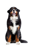 Bernese mountain dog Royalty Free Stock Photo