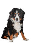 Bernese Mountain dog. In front of a white background Stock Photos