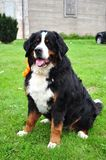 Bernese mountain dog. Sitting on the grass Stock Images