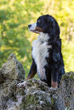 Bernese Mountain Dog. Portrait in nature Stock Photo