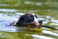 Bernese Mountain Dog. Portrait in nature Stock Image