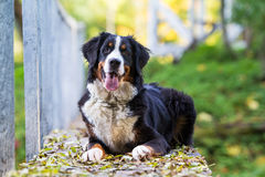 Bernese Mountain Dog. Portrait in nature on wooden bridge Royalty Free Stock Photos