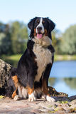 Bernese Mountain Dog. Portrait in nature Royalty Free Stock Photos