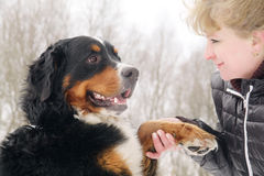 Bernese mountain dog. With woman stock image