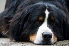Bernese Mountain dog. Laying  a Bernese moutain dog with sweet eyes Stock Photos