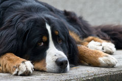Bernese Mountain dog. Laying  a Bernese moutain dog with sweet eyes Royalty Free Stock Photography