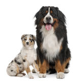 Bernese mountain dog, 3 years old Stock Images