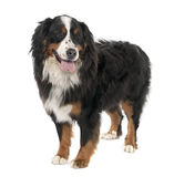 Bernese mountain dog (3 years old) Royalty Free Stock Photo