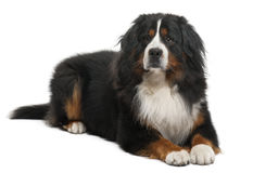 Bernese Mountain Dog, 3 years old, lying Royalty Free Stock Photos