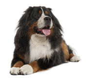 Bernese Mountain Dog, 3 years old, lying Stock Photography