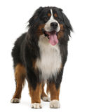 Bernese Mountain Dog, 3 years old, standing Stock Photography