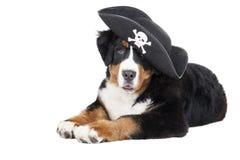 Bernese Mountain Dog Stock Photography