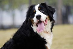 Bernese Mountain Dog. This is a Bernese Mountain Dog. very big Royalty Free Stock Image