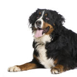 Bernese mountain dog (5 years) Royalty Free Stock Photos