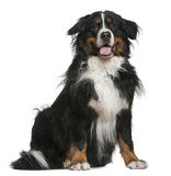 Bernese mountain dog, 5 years old, sitting Stock Images