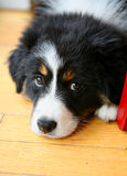 Bernese mountain dog. A closer up view of the black and white face of a Bernese Mountain Dog as it rests its head on the floor royalty free stock photography