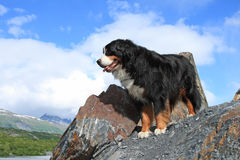 Bernese Mountain Dog. Handsome Bernese Mountain Dog on rocky outcrop overlooking the scenic valley at Worthington Glacier, located in Thompson Pass, Alaska Royalty Free Stock Photography