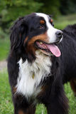 Bernese Mountain dog. Beautiful Bernese Mountain dog taking a walk in the countryside Royalty Free Stock Photo