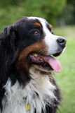 Bernese Mountain dog. Portrait of a beautiful Bernese Mountain dog Stock Images