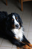 Bernese Mountain Dog. The Bernese Mountain Dog was bred to drive livestock and pull carts in the Swiss Mountains over a century ago. The modern Bernese's Royalty Free Stock Photos