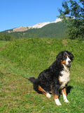 Bernese mountain dog in the Alps. Bernese mountain dog with Dolomite Alps in the background Royalty Free Stock Photo