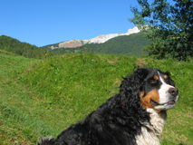 Bernese mountain dog in the Alps. Bernese mountain dog with Dolomite Alps in the background Royalty Free Stock Image