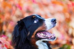 Bernese mountain dog with autumn colors in background Stock Images