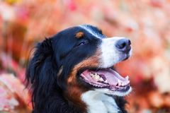 Bernese mountain dog with autumn colors in background Stock Photo