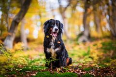 Bernese mountain dog in an autumn forest. Portrait picture of a Bernese mountain dog in an autumn forest Royalty Free Stock Images