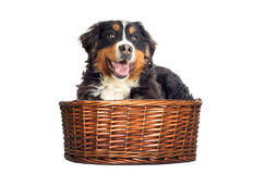 Bernese Mountain Dog in a basket Stock Images
